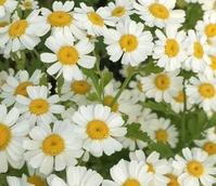 Feverfew (Tanacetum parthenium) Plant