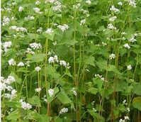Fix and Protect - Buckwheat