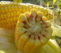 Es Lovely, Forage Maize