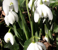 BS Double Snowdrop (Flore Pleno) Bulbs 'In The Green' (Galanthus nivalis f. pleniflorus)