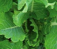 Grampian Kale Seed