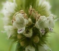 Gypsywort (Lycopus europaeus) Plant