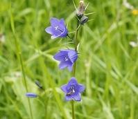 Harebell (Campanula rotundifolia) Plant