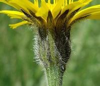 Hawkbit, Rough (Leontodon hispidus) Plant