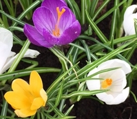 BS Large Flowering Mixed Crocus 'In The Green' Bulbs