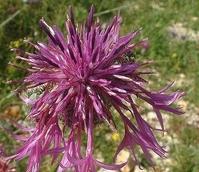 Knapweed, Greater (Centaurea scabiosa) Plant