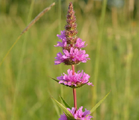Loosestrife, Purple (Lythrum salicaria) Plant