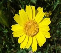 Marigold, Corn (Chrysanthemum segetum) Plant