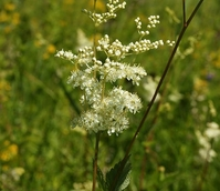 Meadowsweet (Filipendula ulmaria) Plant