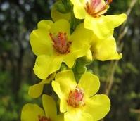 Mullein, Dark (Verbascum nigrum) Plant