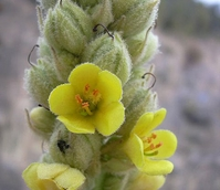 Mullein, Great (Verbascum thapsus) Plant