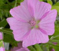 Mallow, Musk (Malva moschata) Plant