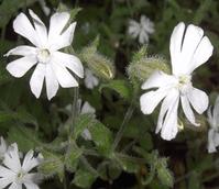 Catchfly, Night-Flowering  (Silene noctiflora) Seeds