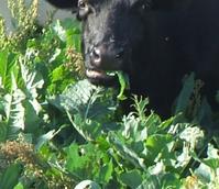 Pinfold Kale Seed