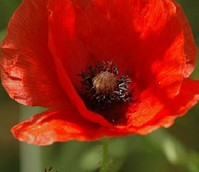 Poppy, Common (Papaver rhoeas) Plants