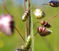 Quaking-grass, Common (Briza media) Seeds