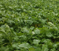 Redstart Kale and Rape Hybrid Seed