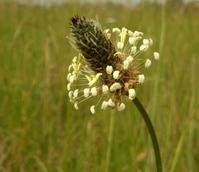 Ribgrass (Agricultural)