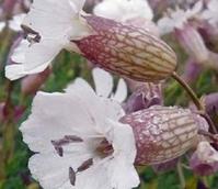 Campion, Sea (Silene maritima) Plant