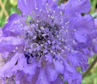 Scabious, Small (Scabiosa columbaria) Plant