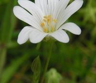 Stitchwort, Greater (Stellaria holostea) Plant