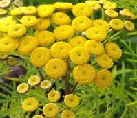 Tansy (Tanacetum vulgare) Plant