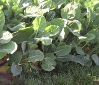 Thousand Head Kale Seed