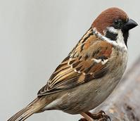 CSS10/TS Wild Bird Mixture - Tree Sparrow (1 year) AB9