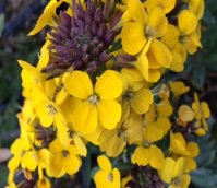 Wallflower, Wild (Cheiranthus cheiri) Plant