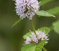 Mint, Water (Mentha aquatica) Plant