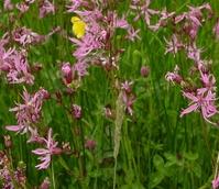 BS11M: Acidic Soils Wildflower Meadow Seeds