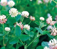Alsike Clover Seed