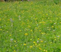 BS12M: Low Growing Wildflower Meadow Seeds