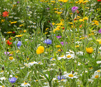 BS9M: Cornfield Annuals Wildflower Meadow Seeds