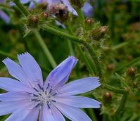Chicory (Cichorium intybus) Plant