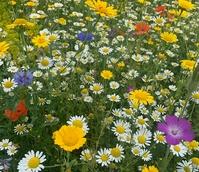BS9P 100%: Cornfield Annuals Wildflower Seeds