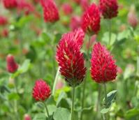 Crimson Clover Seed (Trifolium incarnatum)