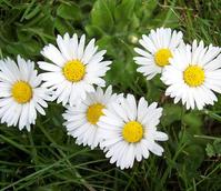 Daisy (Bellis perennis) Seeds