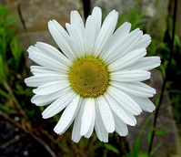 Daisy, Ox-eye (Leucanthemum vulgare) Plant