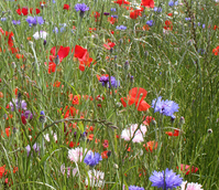 BSDM Diamond Jubilee Wildflower Meadow Seeds