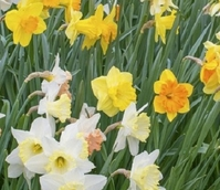 Dwarf Daffodil Surprise Bulb Collection
