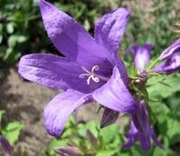 Bellflower, Giant (Campanula latifolia) Plant - Boston Seeds