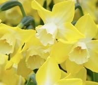 Pipit Narcissi Bulbs