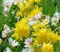 Rip Van Winkle Narcissi Bulbs