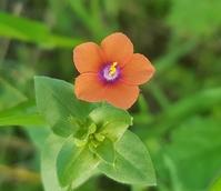 Scarlet Pimpernel (Anagallis Arvensis) Plant