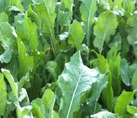 Sparta Forage Rape - Boston Seeds