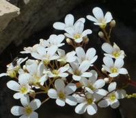 Saxifrage, Meadow (Saxifraga granulata) Plant - Boston Seeds