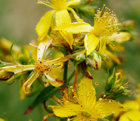 St John's-wort, Common (Hyp. perforatum) Seeds