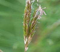 Sweet Vernal-grass (Anthox. odoratum) Seeds