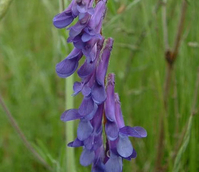 Vetch, Tufted (Vicia cracca) Plant